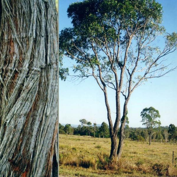 Planting Under Eucalyptus Trees : Of eucalyptus koalas quickly come to mind some varieties